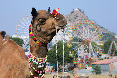 Adorned camels and carnival rides at the Pushkar Camel Fair, Pushkar, Rajasthan, India