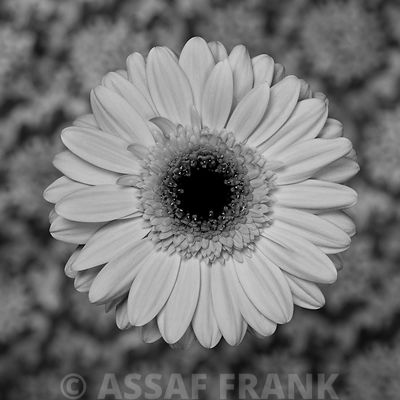 Close-up of Gerbera daisy on patterned background (B&W)