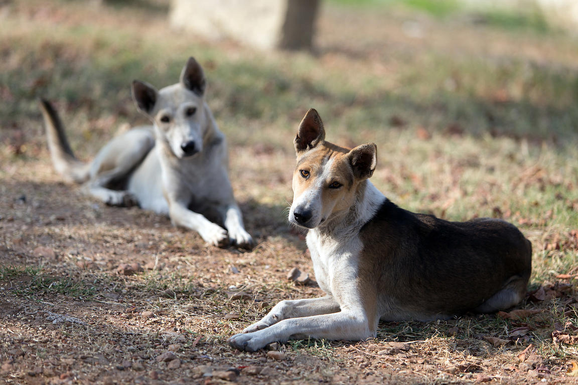 Stray dogs at the Budha Pushkar temple site, Pushkar, Rajasthan, India