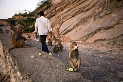 India - Jaipur - Monkeys feeding on the path up the mountainside at Galta and the Surya Mandir (known as the Monkey Temple)