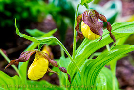 Yellow Lady Slipper Pair
