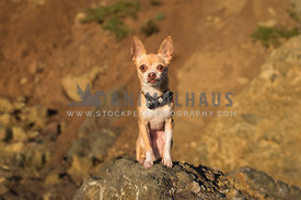 Worried chihuahua on rock