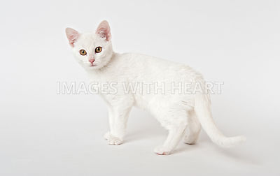 White cat looking a camera