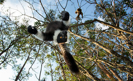 Black & White Ruffed Lemur, Madagascar