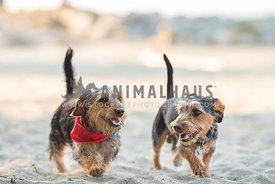 close up of 2 dachshund yorkie mixes walking side by side on the beach