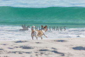 Dog chasing the waves on the beach