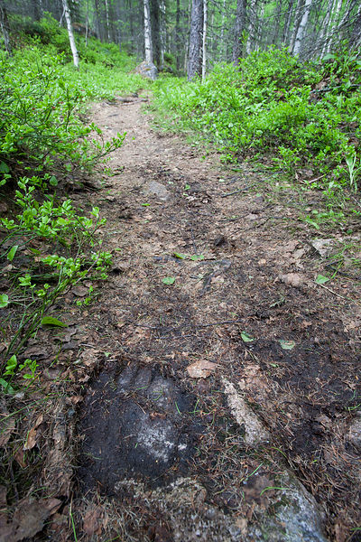 Bear Track on Forest trail