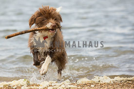 scruffy wet dog carrying a stick otu of the water