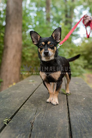 Black and tan chihuahua mix on leash standing on a picnic table with trees in the background