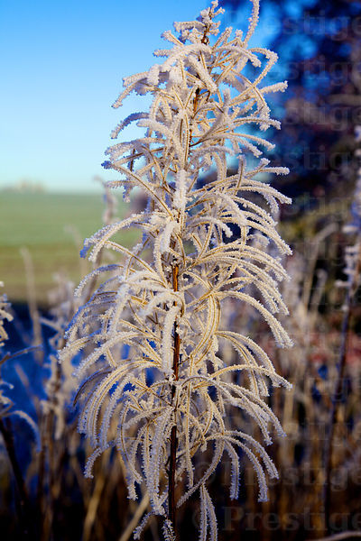 Beautiful frost laden plants