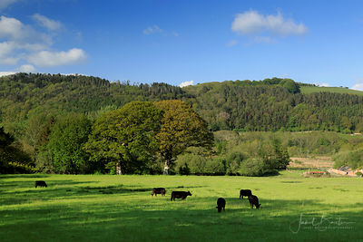 Welsh Black cattle
