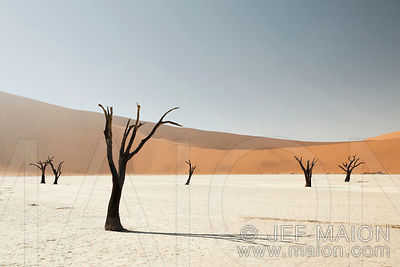 Tree snags in desert