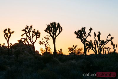 Joshua Tree silhouettes at sunset, California, USA