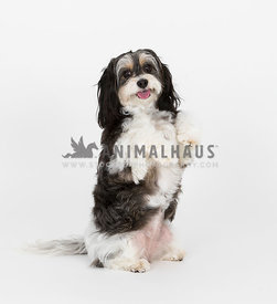 cute cavachon sitting up in studio looking at camera