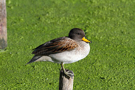 Yellow-billed teal ( Anas flavirostris )