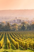 Vineyards in autumn at sunset, Rhine valley, Hesse, Germany