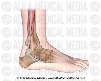 Peroneal tendons anatomy, unlabeled.