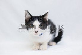 black and white kitten with large eyes