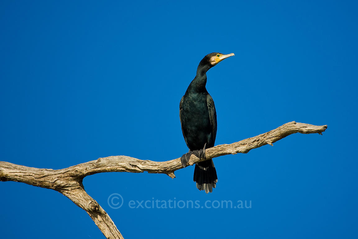 Great Cormorant, Phalacocorax carbo