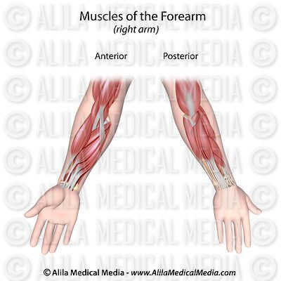 Forearm muscles both sides unlabeled.