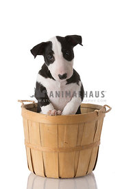 Black and White Bull Terrier puppy in basket on white background