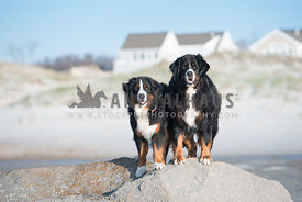 2 bernese mountain dogs standing on a large rock at the beach