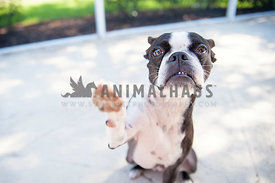 boston terrier dog high five