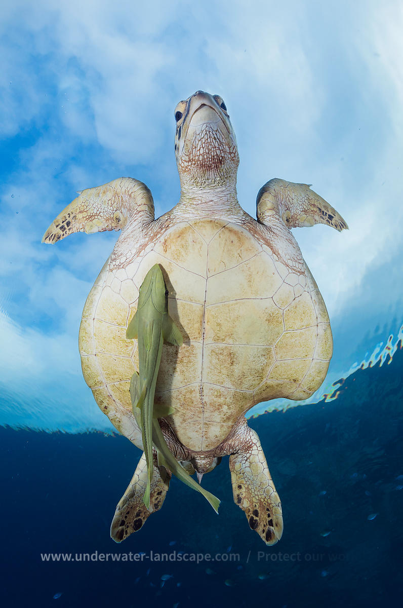 Green turtle survivor with remora