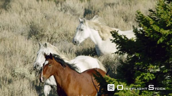 A large herd of Mustang horses gallop through sagebrush, meadows, and trees in the foothills of the Gravelly mountain range n...
