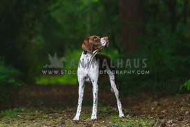 English Pointer standing on forest path