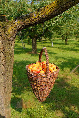 Austria, Lower Austria, Wachau, Willendorf, apricots in basket hanging on tree