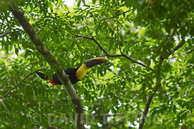 Yellow-throated Toucan Ramphastos ambiguus Canopy Camp in the Darién Panama