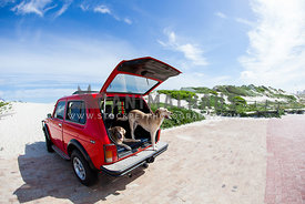 two labradors in a red lada niva, jeep in sunshine
