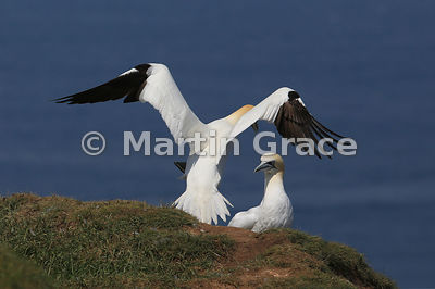 Northern Gannet (Morus bassanus) taking off, from the rear, Bempton Cliffs (RSPB), East Riding of Yorkshire, England