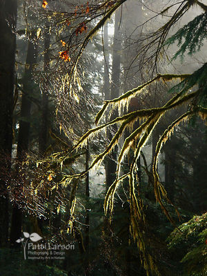 Sun Shines Through the Forest of the Cascade Mountains
