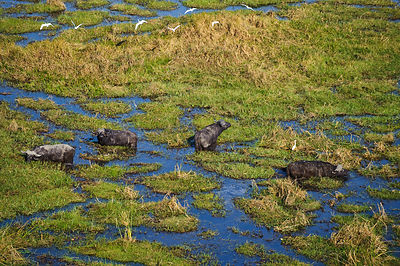 Aerial view of herd of African buffalo (Syncerus caffer) in wetlands, Okavango Delta, Botswana, August