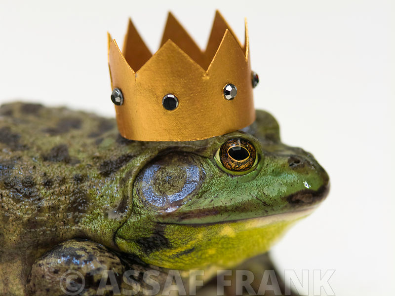 Bull frog with a golden crown on its head. impression from fairy tale.
