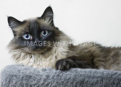 Blue eyed Himalayan cat looking at the camera