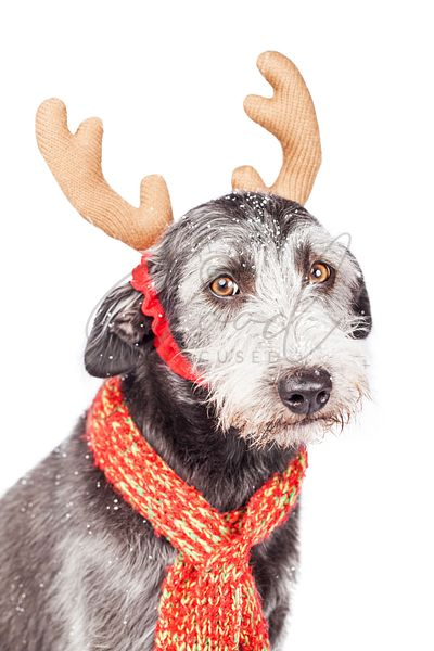 Terrier Dog Wearing Christmas Reindeer Ears