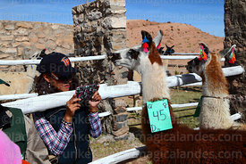 Visitor taking photo of llama that has been selected to take part in competition with her smartphone, Curahuara de Carangas, ...
