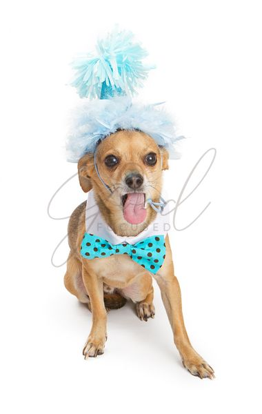 Chihuahua Dog With Party Hat and Tongue Out