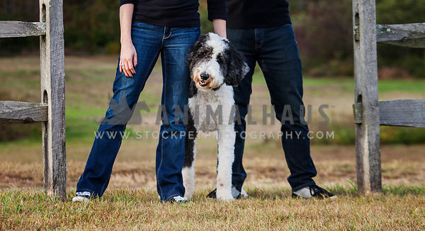 English Sheepdog Poodle Mix with owners