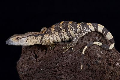 White-throated monitor (Varanus albigularis albigularis)