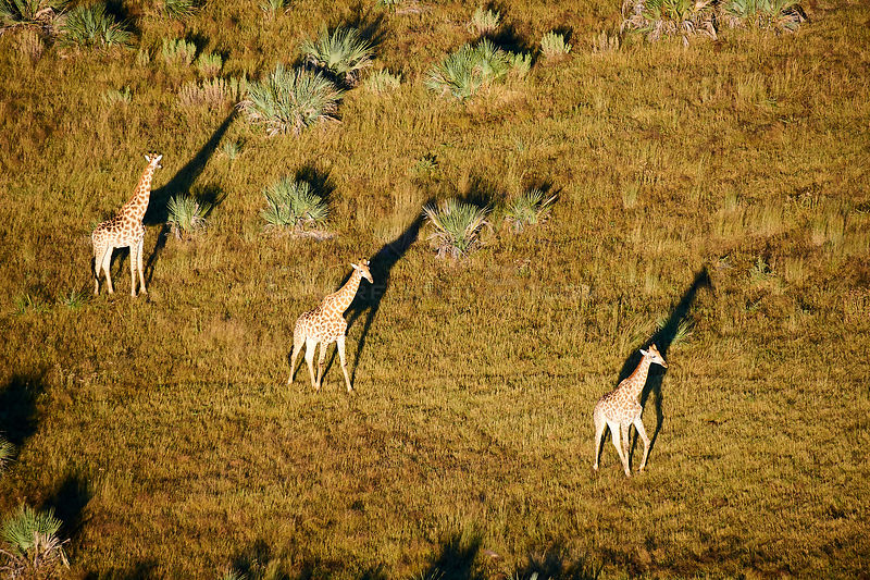 Aerial view of Giraffe group running (Giraffa camelopardalis angolensis) with shadow at sunrise, Okavango delta, Botswana, Af...