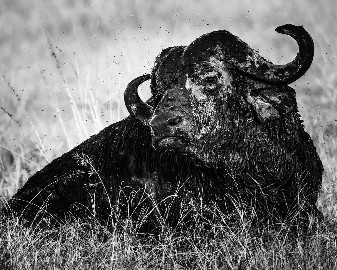 09974-Buffalo_after_the_nap_Kenya_2018_Laurent_Baheux