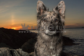 Aussie Mix portrait at Sunset
