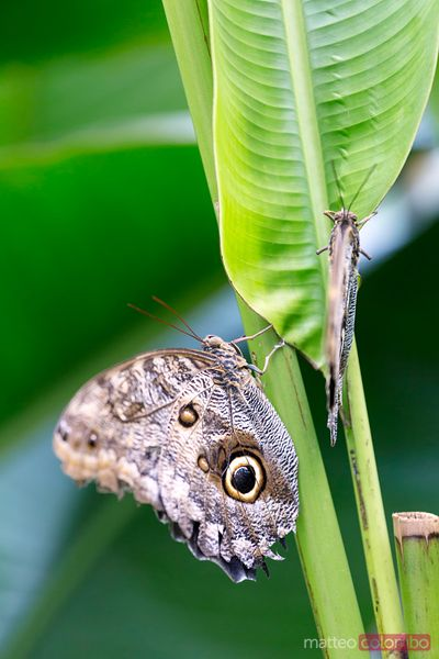 Two owl butterflies (caligo memnon) on a plant leaf, Costa Rica