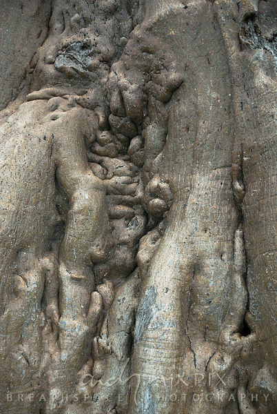 Close up of a baobab tree (Adansonia digitata) trunk with very wrinkled folds.