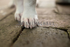 Close up shot of a white puppy's paws on brick walkway