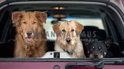 Three dogs in the back of an SUV